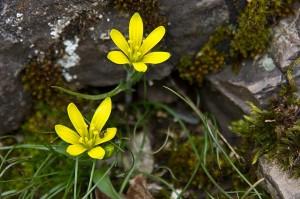 Frühblüher auf der Brauselay: Goldstern