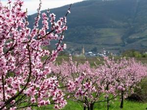 Blüte des Roten Weinbergspfirsichs; im Hintergrund Senheim