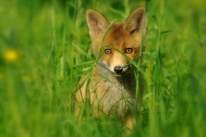 Junger Fuchs  (4)