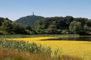 Das Rodder Maar mit einem Teppich von Gelber Seekanne, im Hintergrund die Burgruine Olbrück