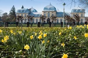 Bonn – Narzissen vor dem Kurfürstlichen Schloss
