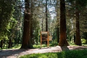 Mammutbäume aus Kalifornien