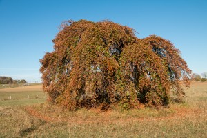 Die Süntelbuche im Herbst