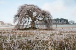 Die Süntelbuche im Winter